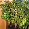 Отдается в дар Crássula (толстянка, она же «денежное дерево»)