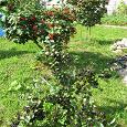 Отдается в дар ягоды калины + черноплодной рябины
