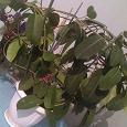 Отдается в дар Комнатное растение Стефанотис