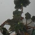 Отдается в дар Растение Бегония