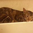 Отдается в дар Бенгальская кошка