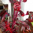 Отдается в дар Комнатное растение Ирезине— черенок
