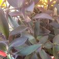 Отдается в дар Традесканция фиолетовая пушистая, лилия и глоксиния