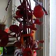 Отдается в дар Комнатное растение — Ирезине