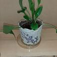 Отдается в дар Комнатные растения. Дримиопсис. 2 горшка