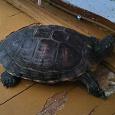 Отдается в дар Красноухая черепаха