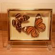 Отдается в дар Бабочки в рамке
