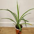 Отдается в дар Домашнее растение «Хлорофитум»