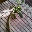 Отдается в дар Отростки денежного дерева.