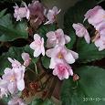 Отдается в дар Листики розовой фиалки