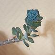 Отдается в дар Комнатное растение — каменная роза