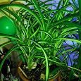 Отдается в дар Комнатное растение Хлорофитум хохлатый «Vittatum»