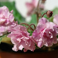 Отдается в дар Фиалка сортовая «Розовая пантера»