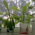 Отдается в дар растение синадениум