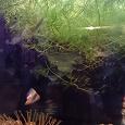 Отдается в дар гуппи и рогалистник для аквариума