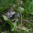 Отдается в дар Красноухая черепаха с аквариумом