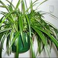 Отдается в дар Комнатные растения (хлорофитум)