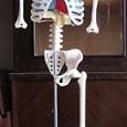 Отдается в дар Части скелета Артема (из журнала «Собери и познай человеческое тело»)