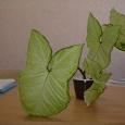 Отдается в дар Комнатное растение(отросток)