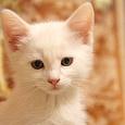 Отдается в дар белый котенок