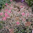 Отдается в дар Садовый цветок «Очиток ложный триколор»
