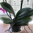 Отдается в дар Орхидея