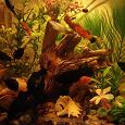 Отдается в дар Рыбки молинезии