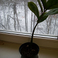 Отдается в дар Замиокулькас молодое растение