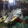 Отдается в дар Красноухая черепаха «Чипа».