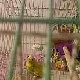 Отдается в дар Волнистый попугай, девочка