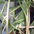 Отдается в дар Растение Дримиопсис