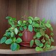 Отдается в дар Комнатное растение Пеперомия Головатая