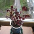 Отдается в дар комнатное растение ирезине.