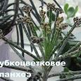 Отдается в дар Отростки каланхоэ трубкоцветного