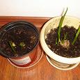 Отдается в дар Комнатные растения (комнатные цветы, луковицы)