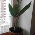 Отдается в дар пальма диффенбахия?