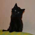 Отдается в дар Котята Крысоловы от домашней кошки
