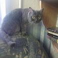 Отдается в дар шотландская прямоухая кошка 1 год.
