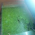 Отдается в дар Ряска в аквариум