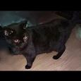 Отдается в дар Британская кошка