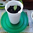 Отдается в дар Комнатные растения: Рэо