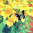 Отдается в дар брошка-бабочка