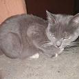 Отдается в дар Кот РУССКАЯ ГОЛУБАЯ КОШКА молодой, игривый. И второй крупный кот.