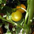 Отдается в дар Семена помидоров