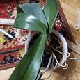 Отдается в дар Орхидея фаленопис на реанимацию