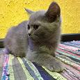 Отдается в дар Голубые британские котята