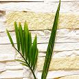 Отдается в дар Хамедорея: 4 пальмы