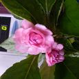 Отдается в дар Бальзамин махровый розовый