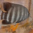 Отдается в дар Рыба Цихлазома Зебровая Тиляпия