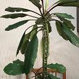 Отдается в дар Эуфорбия — комнатное растение